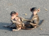 baby-baboons