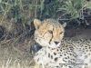 cheetah_3