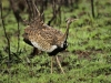 strutting-blackbellied-bustard