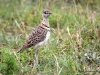 double banded courser