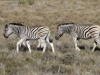 zebras-in-etoscha-national-park