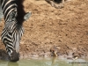 zebra-mit-madenhacker-zebra-with-ox-pecker