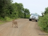 duma-sa-2012-cheetah-crossing