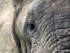 duma-sa-2012-elephant-eye
