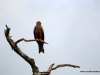 duma-sa-2012-yellow-billed-kite