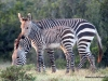 cape-mountain-zebras