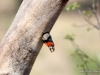 collared-barbet