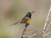 orange-breasted-sunbird