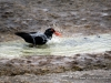 oyster_catcher