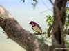 violet backed starling 2