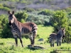 bergzebras-west-coast-nationalpark