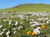 postberg-blumen-im-west-coast-nationalpark