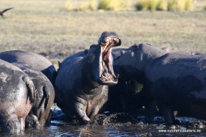 Hippo at Zambezi
