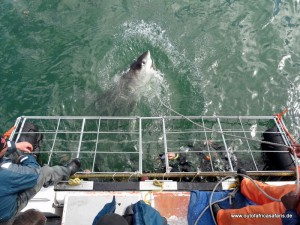 weisser hai beim shark cage diving